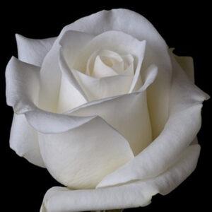 rosa-bianca