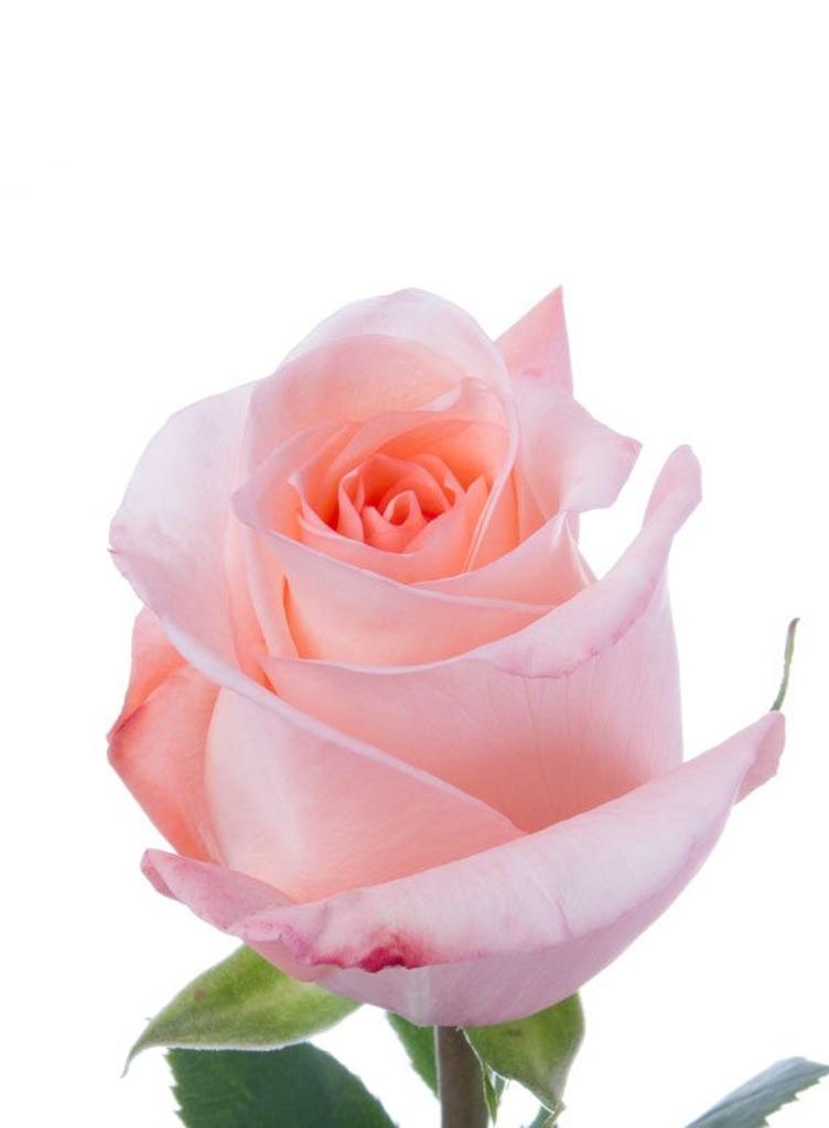 Mazzo di Rose Rosa - Fioreria Al Carmine
